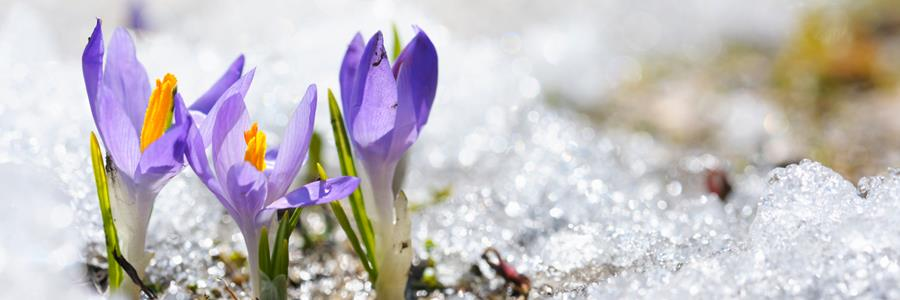Crocus pushing out of the snow