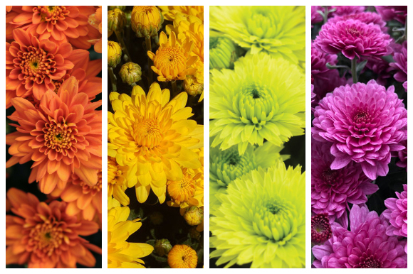 Colorful mums for fall containers