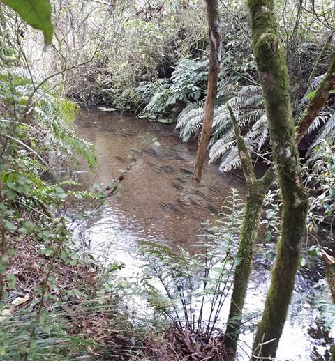 Rainbow trout is spawning tributary