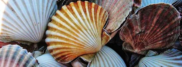 Read the IMAS                              scallop survey report